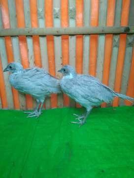 Anakan pheasant positif sepasang