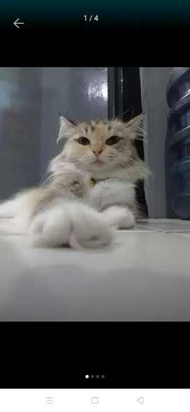 Kucing persia dulite calico