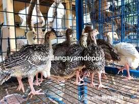 Ayam kalkun 1 bulan