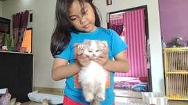 Kucing kitten scottish fold