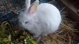 Angora rabbits and bunnies