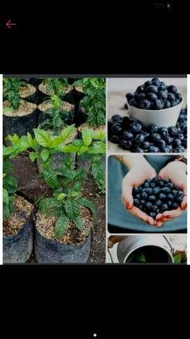 Bibit blueberry