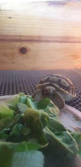 Sulcata tortoise +- 6cm