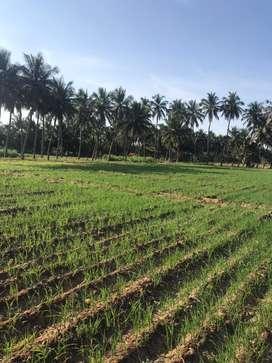 Agriculture land/agriland/agricultural land/coconut farm/farmland/land
