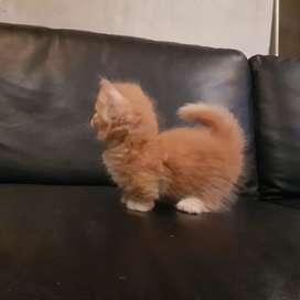 kucing munchkin ped