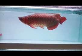 Arwana Super Red ITL Sumo 50cm
