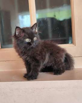 High Quality Persian Kitten available in and near Coimbatore