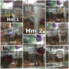 Ikan cupang hm, pk, mix