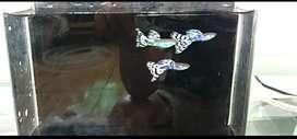 Ikan Guppy Blue Mozaic