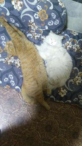 Pasion cat couple