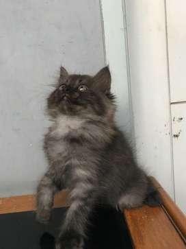 Kitten Persia mix 2 bulan NEGO