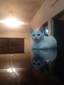 Persian cross kitten(ooty look)