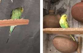 2 Pairs Of Budgies Birds For Sale