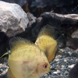 2 inch discus fish active and healthy