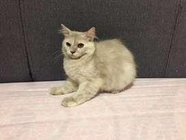 Kucing Betina Persia
