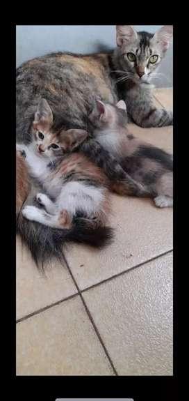 Kucing persia sa atau campuran mexdom diborong aja semuanyaa diodopsi