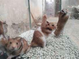 Hamster Lucu Banget