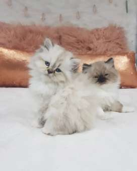 PERSIAN KITTEN AND CATS HIMALAYAN SIAMESE RAGDOLL SIBERIAN BENGALS