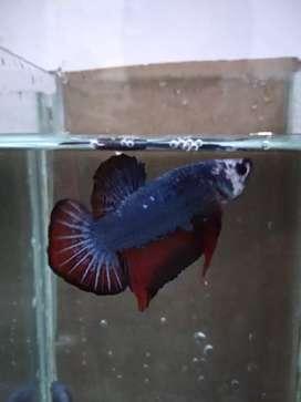 Ikan Cupang PK Cooper