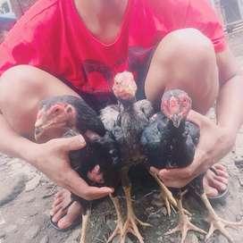 Jual ayam siam 3 ekor 300 ukuran 1 kg per ekor