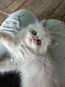 Kitten Super Lucu Ragdol