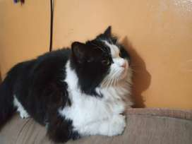 Fluffy PeRsian  available