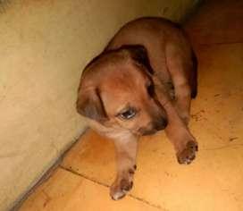 Anakan Anjing Campur Pitbull & Jack Russel