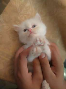 Pure persian triple coat  blue eyes 2 months old kittens