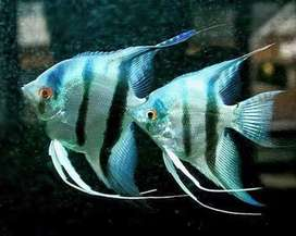 Blue angel fish pair for sale low price