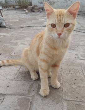 Russian male cat for sale