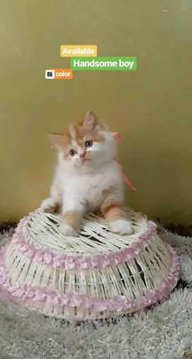 PERSIAN RAGDOLL HIMALAYAN SIAMESE KITTENS AND CATS AVAILABLE