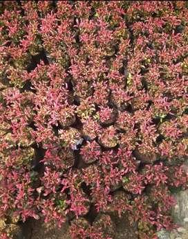 Jual pohon kerokot merah untuk lis taman