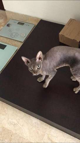 Kucing sphynx male