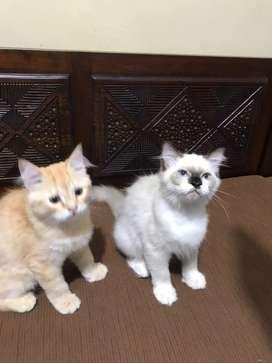 Lepas adop kitten persia himalaya