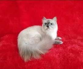 Kucing Himalaya betina 6 bln