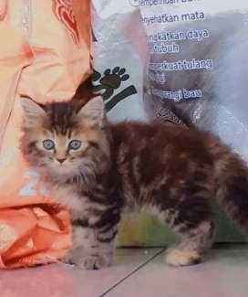 Kucing persia medium lucu menggemaskan