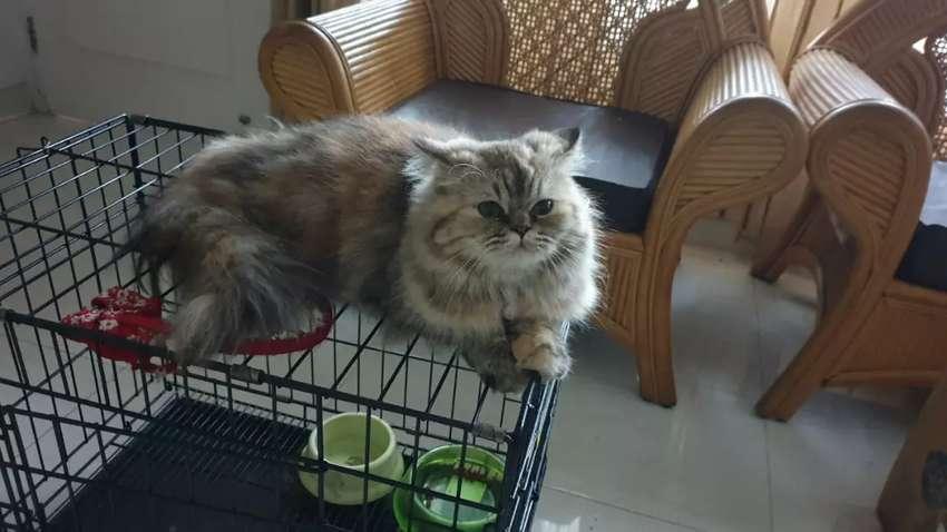 kucing persia mix mainecoon 0