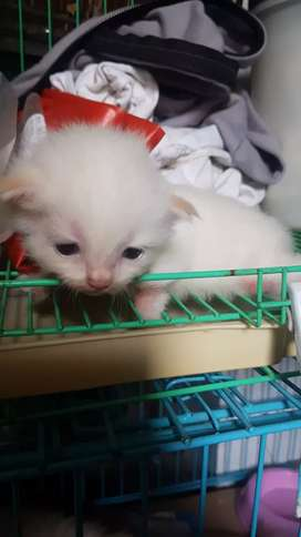 Himalaya kitten gembul