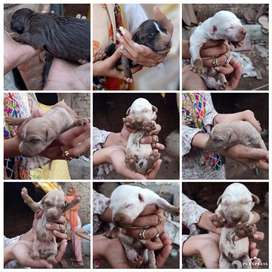 Old hink bull terrier puppies