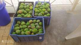 ALL TYPES OF ORGANIC MANGOES DIRECT FROM FARMER bulk buyers please cal
