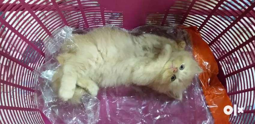 Faun colour  Persian kitten for sale 0