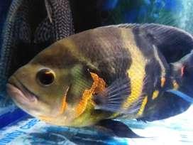 Bigger OSCAR & SUCKER fish