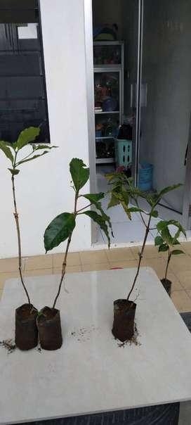 bibit tanaman kopi arabica