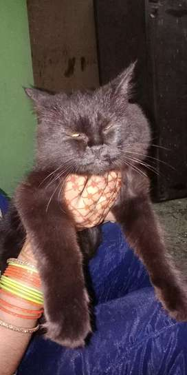 Persian cat black clr double coting the greatest cat ever n fabulous