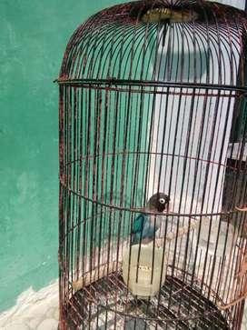 Lovebird mangsi plus kandang
