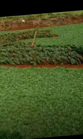 Tukang taman rumput parung