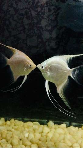 Angel fish  (big size) - 1 pair = INR 150 , 2 pair available
