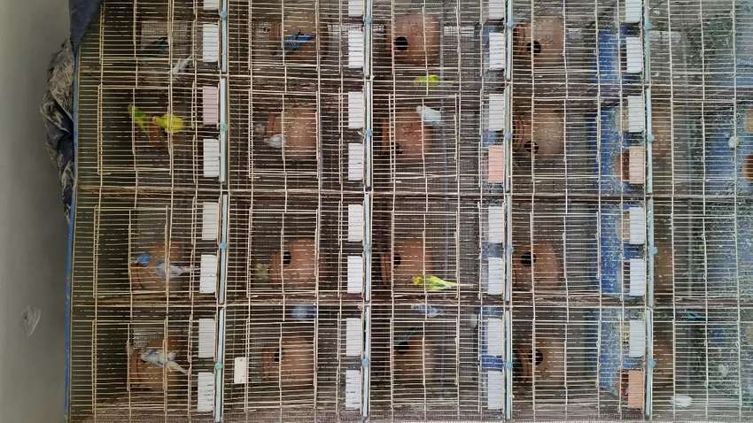20 portion cage and 18 pair Australian pair 0