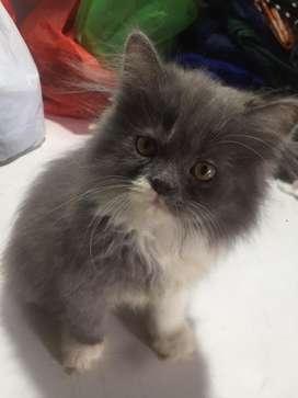 Anak Kucing persia betina blue n white umur 2 bln +