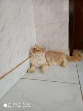 Doll face female persian kitten